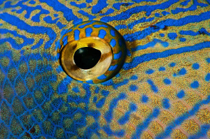 Close up of a Black Durgon Triggerfish eye by Paul Colley 